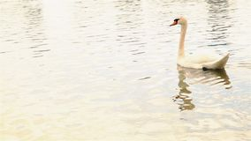 Ο όμορφος άσπρος κύκνος κολυμπά στη λίμνη την άνοιξη HD 1920x1080 απόθεμα βίντεο