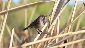 Ο όμορφος γαλαζολαίμης πουλιών τραγουδά ένα τραγούδι άνοιξη απόθεμα βίντεο
