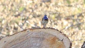 Ο όμορφος γαλαζολαίμης πουλιών τραγουδά μια συνεδρίαση τραγουδιού άνοιξη σε ένα κολόβωμα απόθεμα βίντεο