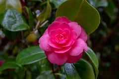 Ο όμορφος δονούμενος ρόδινος Rhododendron θάμνος στην πλήρη άνθιση, κλείνει να παρουσιάσει περίπλοκη λεπτομέρεια του λουλουδιού στοκ εικόνα