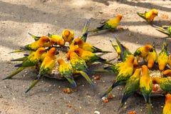 Ο όμορφος ζωηρόχρωμος παπαγάλος, ήλιος Conure, solstitialis Aratinga τρώει τα τρόφιμα bangkok thailand Στοκ Φωτογραφίες