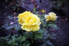 ο όμορφος κήπος αυξήθηκε κίτρινος Στοκ Φωτογραφία