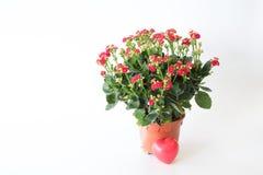 Ο όμορφος κόκκινος βράχος αυξήθηκε λουλούδια Στοκ φωτογραφία με δικαίωμα ελεύθερης χρήσης