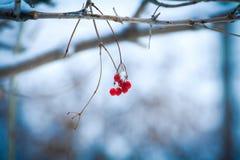 Ο όμορφος κόκκινος Rowan στο χιόνι Στοκ Φωτογραφία