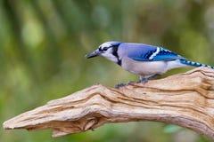 Ο όμορφος μπλε Jay σκαρφαλώνει σε έναν ξεπερασμένο κλάδο Στοκ Εικόνα