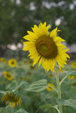 Ο όμορφος τομέας ηλίανθων είναι πλήρης άνθιση στον κήπο Στοκ Εικόνες