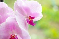Ο όμορφος τροπικός εξωτικός κλάδος με την άσπρη, ρόδινη και ροδανιλίνης ορχιδέα Phalaenopsis σκώρων ανθίζει το καλοκαίρι στοκ εικόνα