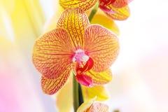 Ο όμορφος τροπικός εξωτικός κλάδος με τη ρόδινη και κίτρινη ορχιδέα Phalaenopsis σκώρων ανθίζει το καλοκαίρι στοκ εικόνα με δικαίωμα ελεύθερης χρήσης