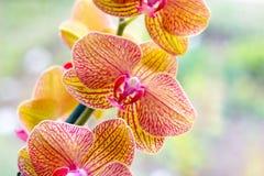 Ο όμορφος τροπικός εξωτικός κλάδος με τη ρόδινη και κίτρινη ορχιδέα Phalaenopsis σκώρων ανθίζει την άνοιξη στοκ εικόνες