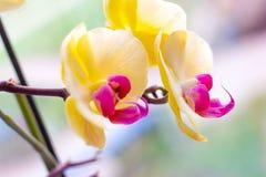 Ο όμορφος τροπικός εξωτικός κλάδος με τη ρόδινη και κίτρινη ορχιδέα Phalaenopsis σκώρων ανθίζει την άνοιξη στοκ φωτογραφίες