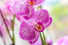 Ο όμορφος τροπικός εξωτικός κλάδος με τη ρόδινη και ροδανιλίνης ορχιδέα Phalaenopsis σκώρων ανθίζει την άνοιξη στοκ εικόνα με δικαίωμα ελεύθερης χρήσης