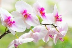 Ο όμορφος τροπικός εξωτικός κλάδος με τη ρόδινη και ροδανιλίνης ορχιδέα Phalaenopsis σκώρων ανθίζει την άνοιξη στοκ φωτογραφίες