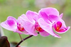 Ο όμορφος τροπικός εξωτικός κλάδος με τη ρόδινη και ροδανιλίνης ορχιδέα Phalaenopsis σκώρων ανθίζει την άνοιξη στοκ εικόνες