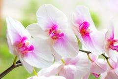 Ο όμορφος τροπικός εξωτικός κλάδος με τη ρόδινη και ροδανιλίνης ορχιδέα Phalaenopsis σκώρων ανθίζει την άνοιξη στοκ εικόνα