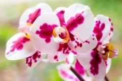 Ο όμορφος τροπικός εξωτικός κλάδος με τη ρόδινη και ροδανιλίνης ορχιδέα Phalaenopsis σκώρων ανθίζει την άνοιξη στοκ φωτογραφία