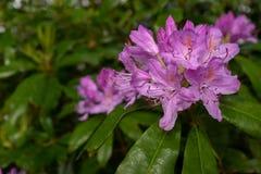 Ο όμορφος φωτεινός ρόδινος Rhododendron θάμνος στην πλήρη άνθιση, κλείνει να παρουσιάσει περίπλοκη λεπτομέρεια του λουλουδιού στοκ φωτογραφία με δικαίωμα ελεύθερης χρήσης