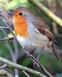 ο όμορφος Robin στοκ εικόνες