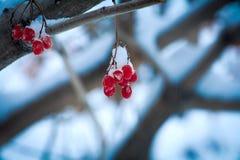 Ο όμορφος Rowan το χειμώνα Στοκ φωτογραφία με δικαίωμα ελεύθερης χρήσης