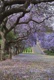 Οδός που ευθυγραμμίζεται με τα δέντρα Jacaranda στην πλήρη άνθιση Στοκ φωτογραφίες με δικαίωμα ελεύθερης χρήσης