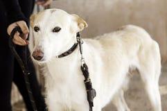 Οδός σκυλιών κυνηγόσκυλων Στοκ Εικόνες