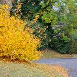 Οδός φθινοπώρου με το δέντρο σφενδάμνου πτώσης που επιδεικνύει το ζωηρόχρωμο φύλλωμα Στοκ Φωτογραφία