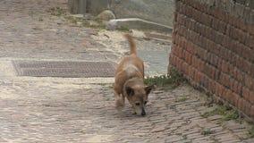 Οδός Barbaresco με το σκυλί φιλμ μικρού μήκους