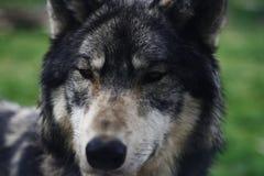 Ο λύκος κοιτάζει επίμονα Στοκ Φωτογραφίες
