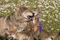 Ο λύκος Mom και τα κουτάβια κλείνουν επάνω στα wildflowers Στοκ Φωτογραφίες