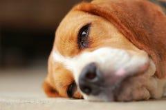Ο ύπνος σκυλιών λαγωνικών και παίρνει κάποιο υπόλοιπο Στοκ Φωτογραφίες