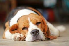 Ο ύπνος σκυλιών λαγωνικών και παίρνει κάποιο υπόλοιπο Στοκ εικόνες με δικαίωμα ελεύθερης χρήσης