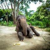 Ο ώριμος θηλυκός ελέφαντας κάθεται στο έδαφος Στοκ εικόνα με δικαίωμα ελεύθερης χρήσης