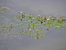 Ο alba, ευρωπαϊκός άσπρος κρίνος νερού Nymphaea, άσπρο νερό αυξήθηκε ή άσπρος nenuphar στοκ εικόνα