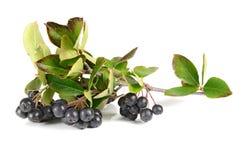 ο ashberry Μαύρος Στοκ Εικόνες