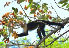 Ο Capuchin πίθηκος Στοκ Φωτογραφίες
