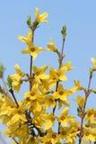 Λουλούδια Forsythia Στοκ φωτογραφία με δικαίωμα ελεύθερης χρήσης