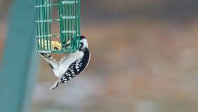 Ο Downy δρυοκολάπτης - Picoides pubescens - κρεμά σε ένα κλουβί τροφοδοτών και πρέπει για να φάει Στοκ εικόνες με δικαίωμα ελεύθερης χρήσης