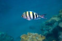 Ο indo-ειρηνικός λοχίας ψαριών είναι κάτω από το νερό Στοκ φωτογραφία με δικαίωμα ελεύθερης χρήσης