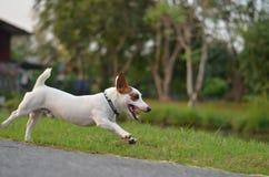 Ο Jack Russell απόλαυσε με την ταχύτητα Στοκ φωτογραφία με δικαίωμα ελεύθερης χρήσης