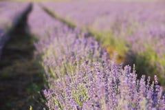 Ο lavender τομέας Στοκ Φωτογραφίες