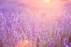 Ο lavender τομέας Στοκ Φωτογραφία