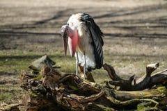 Ο Marabou πελαργός, Leptoptilos crumenifer είναι ένα μεγάλο wading πουλί στοκ φωτογραφία