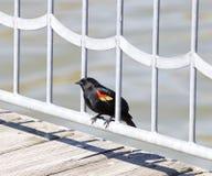 Ο red-winged κότσυφας Στοκ φωτογραφίες με δικαίωμα ελεύθερης χρήσης