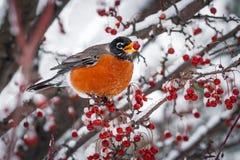Robin στο χιονώδη κλάδο της Apple καβουριών Στοκ φωτογραφία με δικαίωμα ελεύθερης χρήσης