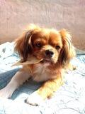 Ο Rocco είναι το σκυλί μου Στοκ Φωτογραφίες