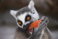 Ο rring-παρακολουθημένος κερκοπίθηκος τρώει ένα καρότο Στοκ φωτογραφία με δικαίωμα ελεύθερης χρήσης