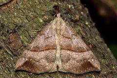 Ο snout σκώρος (proboscidalis Hypena) Στοκ εικόνες με δικαίωμα ελεύθερης χρήσης