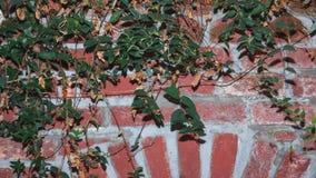 Ο woodshed κισσός προέρχεται με τα πράσινα φύλλα στο τουβλότοιχο στο evenin Στοκ εικόνες με δικαίωμα ελεύθερης χρήσης