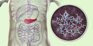 Πάγκρεας που παράγει την ορμόνη ινσουλίνης, εννοιολογική εικόνα ελεύθερη απεικόνιση δικαιώματος