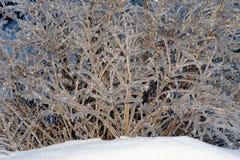 πάγος θάμνων κλάδων Στοκ Εικόνες