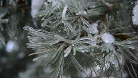 Πάγος-καλυμμένος κλάδος του πεύκου απόθεμα βίντεο